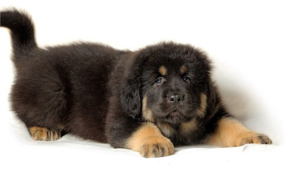 Tibetan Mastiff Puppies For Adoption